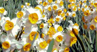 冬~春の楽しみ淡路島で水仙(スイセン)を見よう/おすすめデート・観光スポット