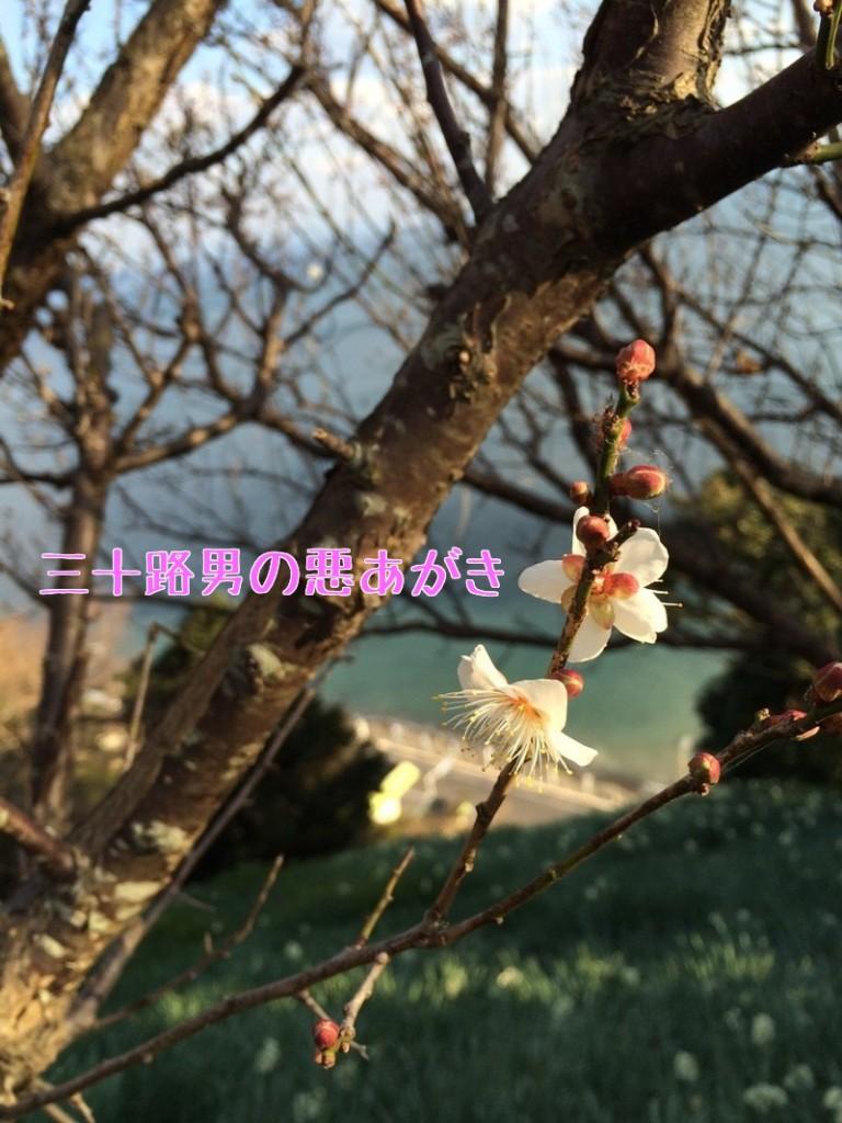 灘黒岩水仙郷_開花状況_梅の花